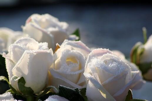 roses-3954128_1920